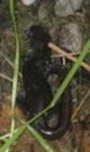 Blue_spotted_salamander